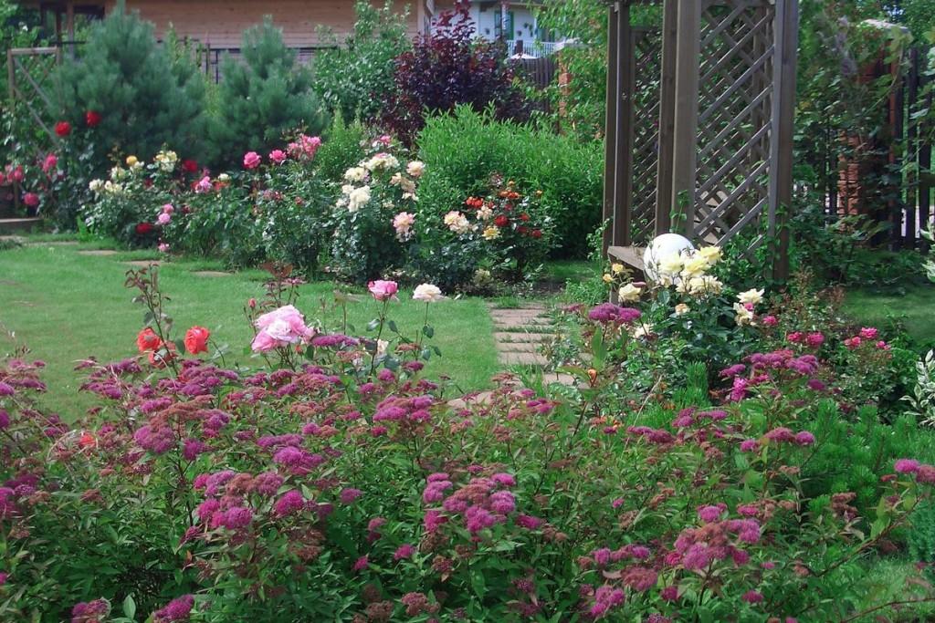 Комбинация роз и спиреи в ландшафте сада