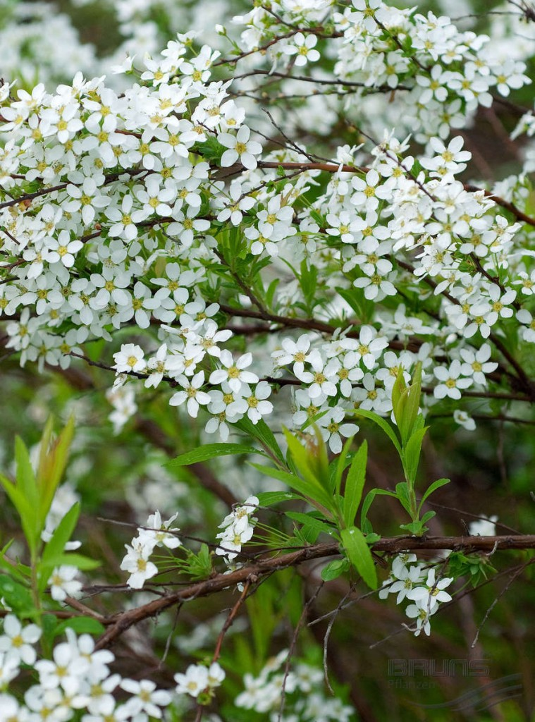 Ветка спиреи сорта Тунберга с мелкими цветками