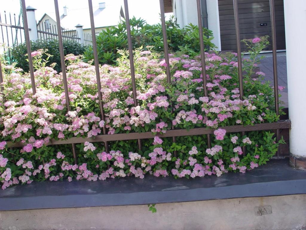 Спирея с розовыми цветками за металлическим забором