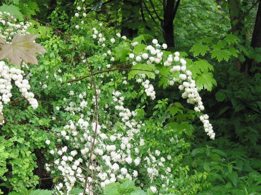 Белые цветочки на спиреи Вангутта в конце весны