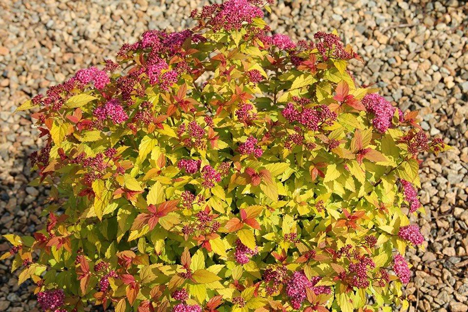 Осенняя окраска листьев на японской спирее