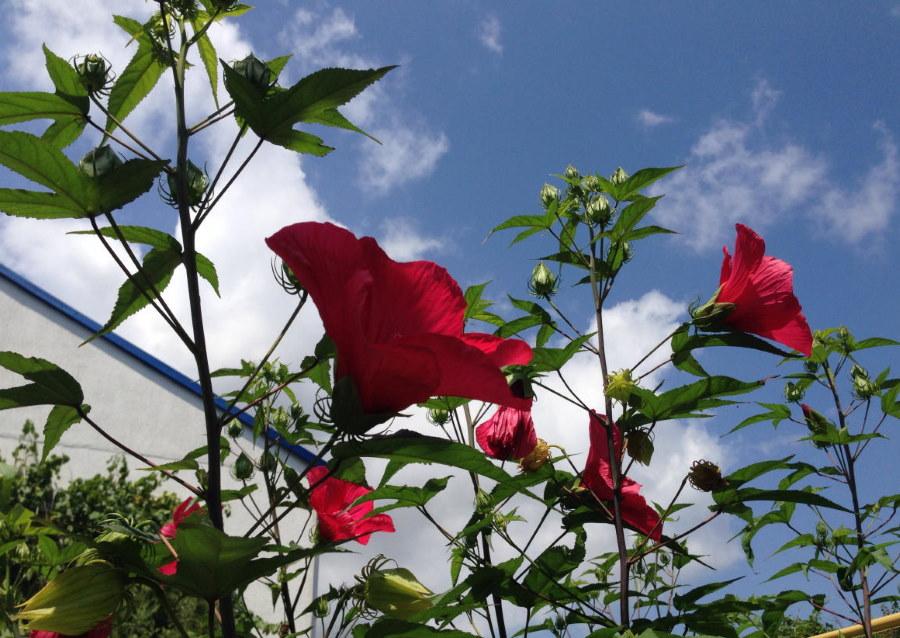 Длинные стебли гибискуса с красными цветками