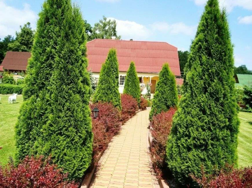 Совместная посадка туй и барбариса в саду