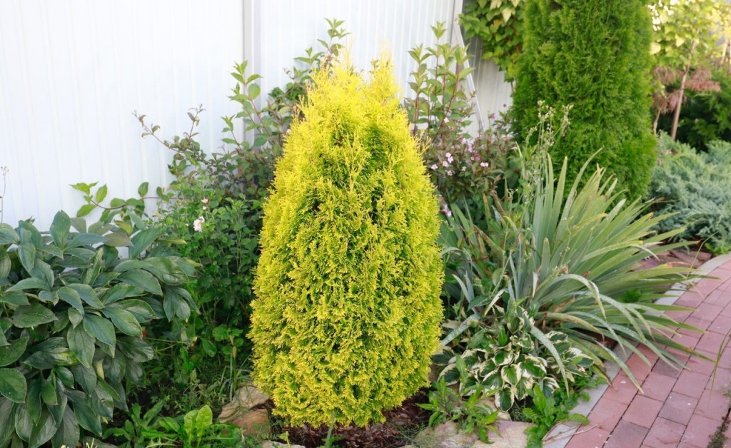 Желтая хвоя на туе сорта Голден Пигми