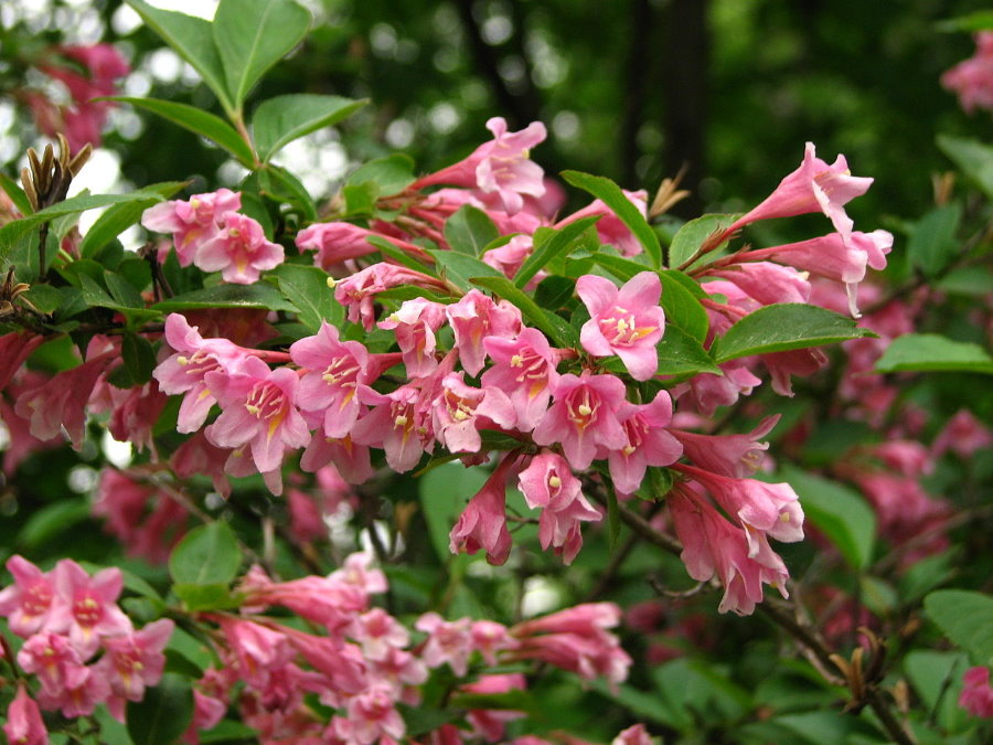 Розово-белые цветки на вейгеле сорта Флорида