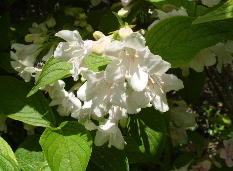 Белые соцветия на вейгеле гибридного сорта Кандида
