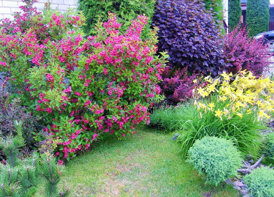 Летнее цветение вейгелы на садовом участке