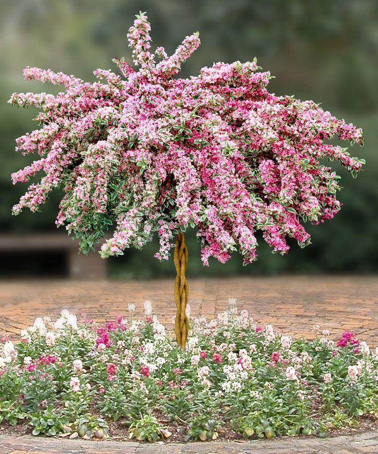 Гибридная вейгела на штамбе во время цветения