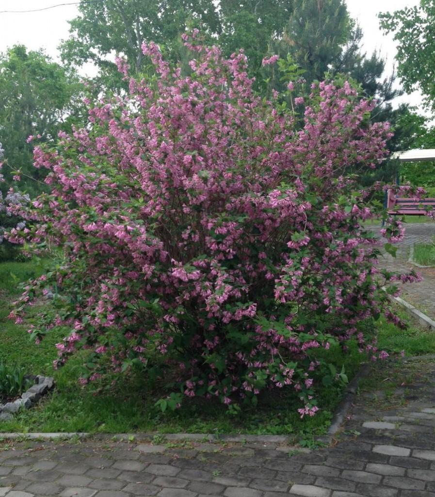 Весеннее цветение ранней вейгелы на даче