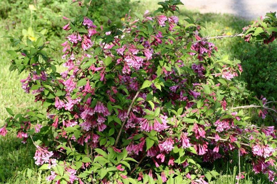 Цветки-колокольчики на кусту ранней вейгелы