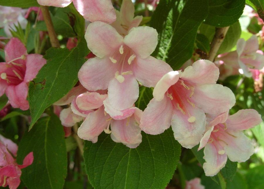 Большие розовые цветки на вейгеле сорта Розеа