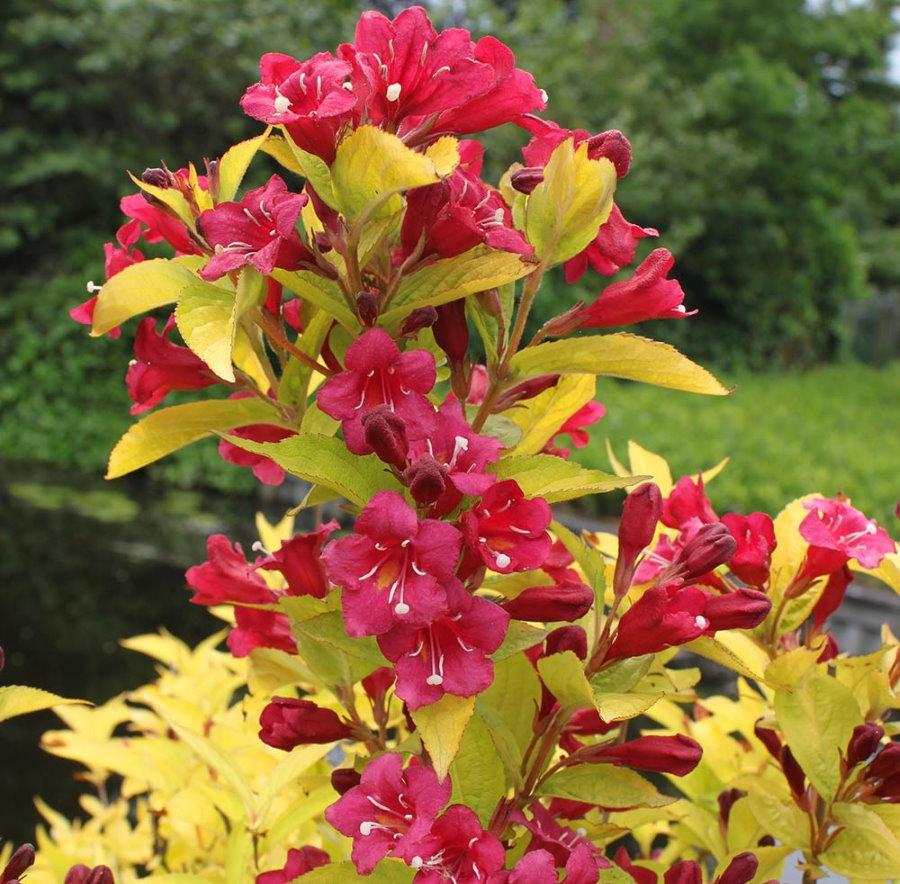 Красные цветки на ветках садовой вейгелы