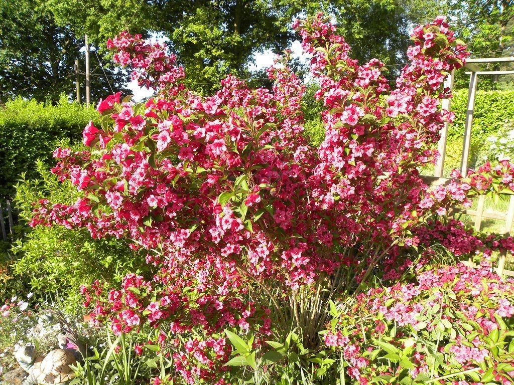 Высокий куст гибридной вейгелы Бристоль Руби в период цветения