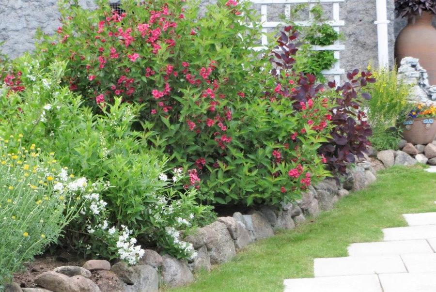 Вейгела ранняя в ландшафте садового участка