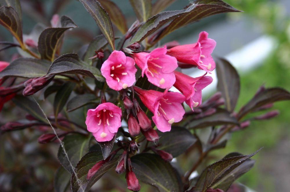 Красно-розовые цветки на вейгеле сорта Виктория