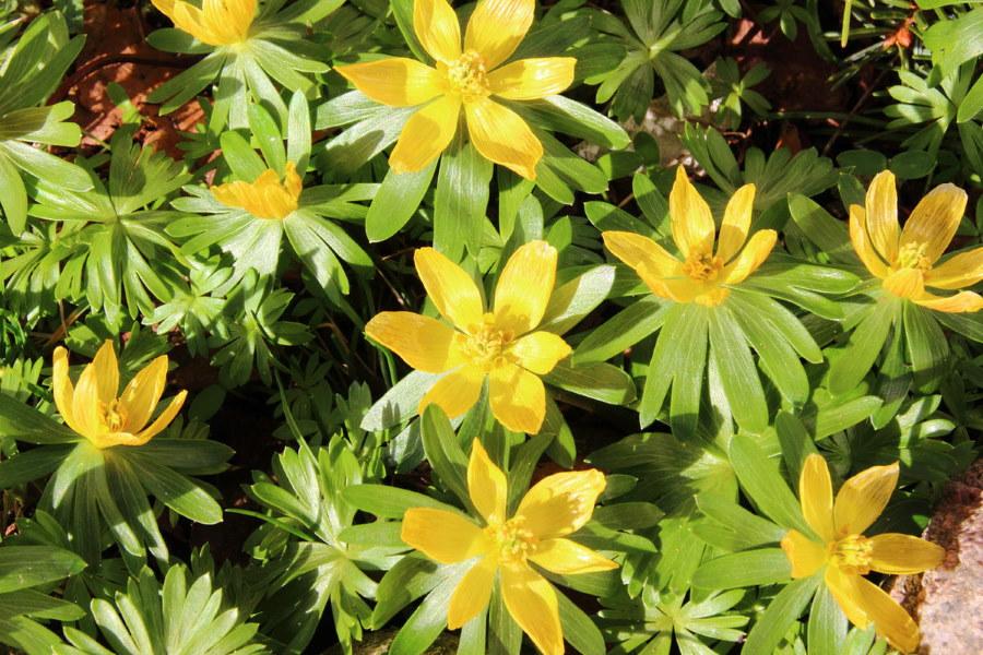 Желтый весенник на садовой клумбе в середине апреля