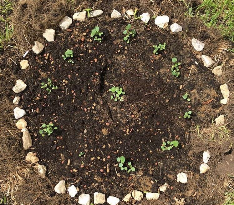 Садовая клумба с высаженной рассадой лаватеры