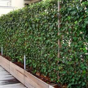 забор с растениями идеи