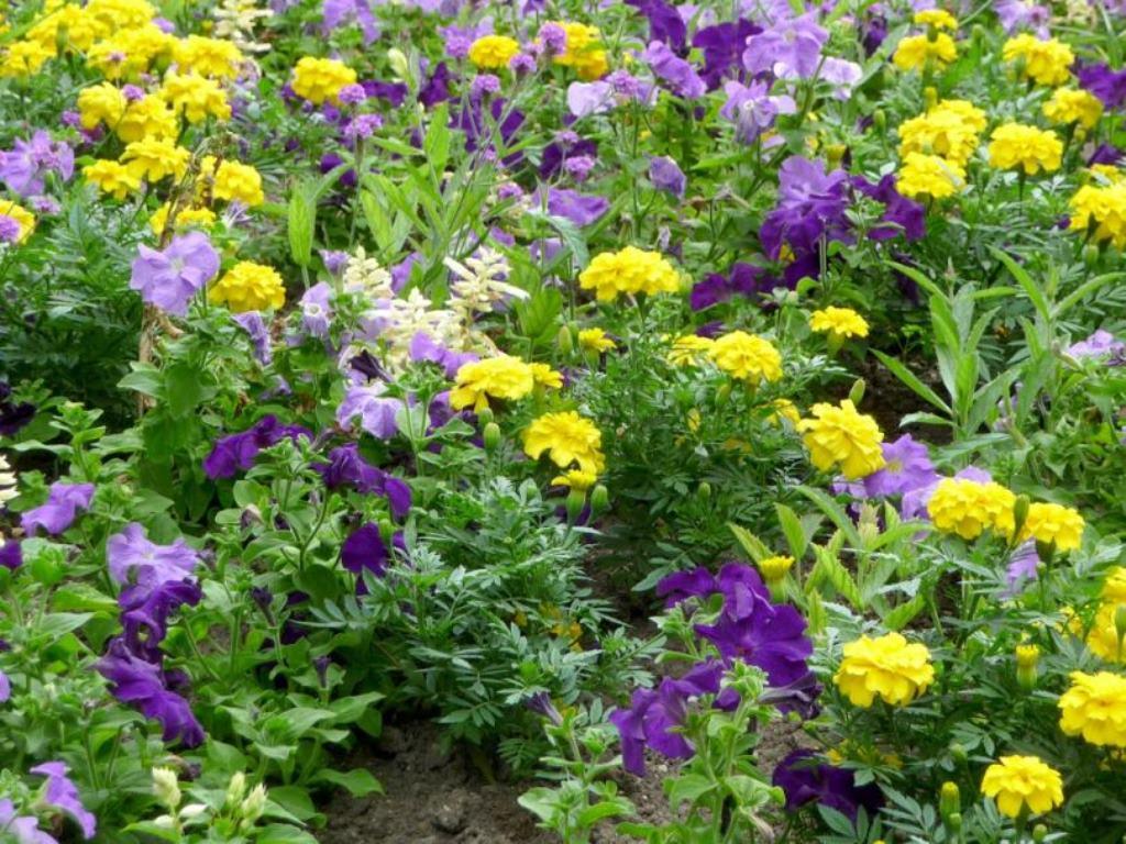 лучшие однолетние цветы