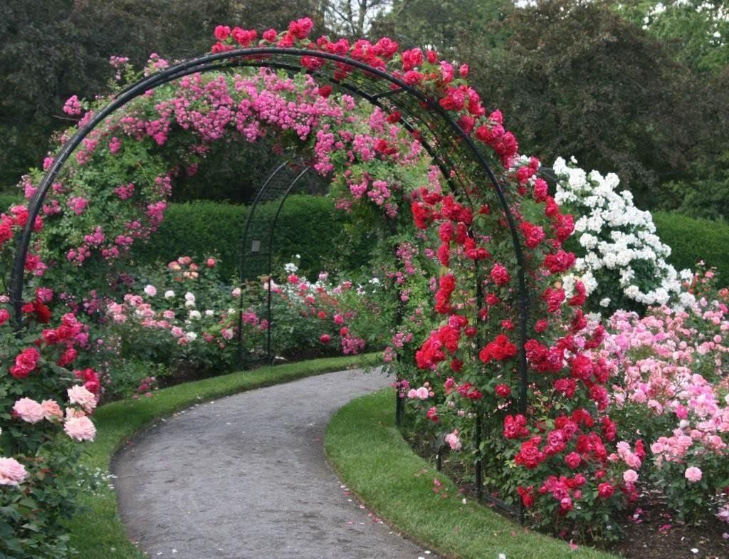 Плети цветущих роз на металлической арке