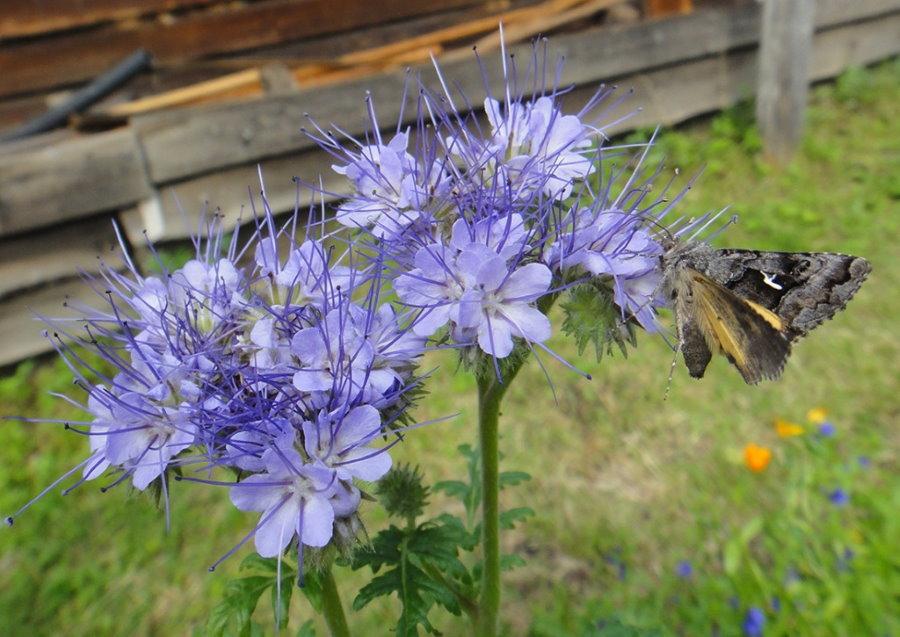 Сиренево-голубые цветки фацелии на дачном участке