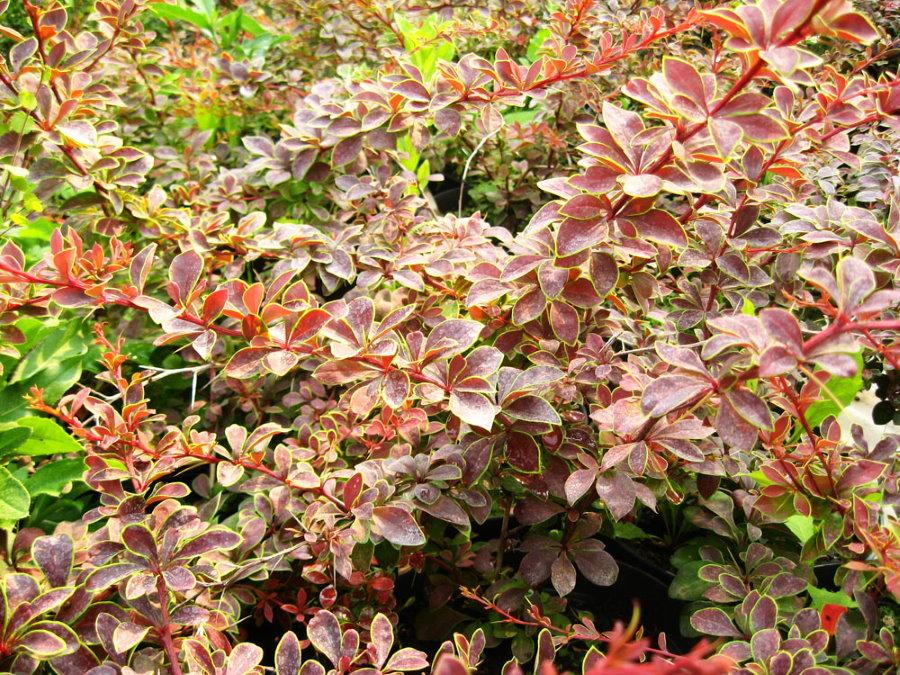 Изменение цвета листьев на барбарисе Тунберга Коронита в осенний период