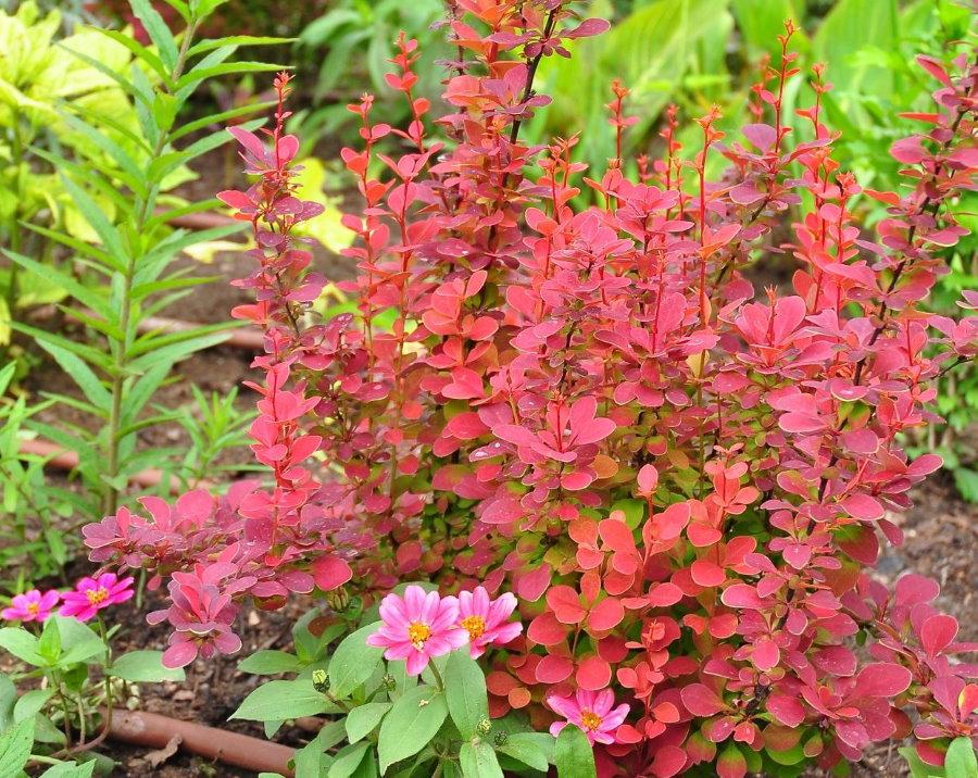 Карминная окраска листьев барбариса сорта Оранж Рокет осенью
