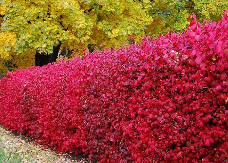 Красные листья на барбарисе в живой изгороди