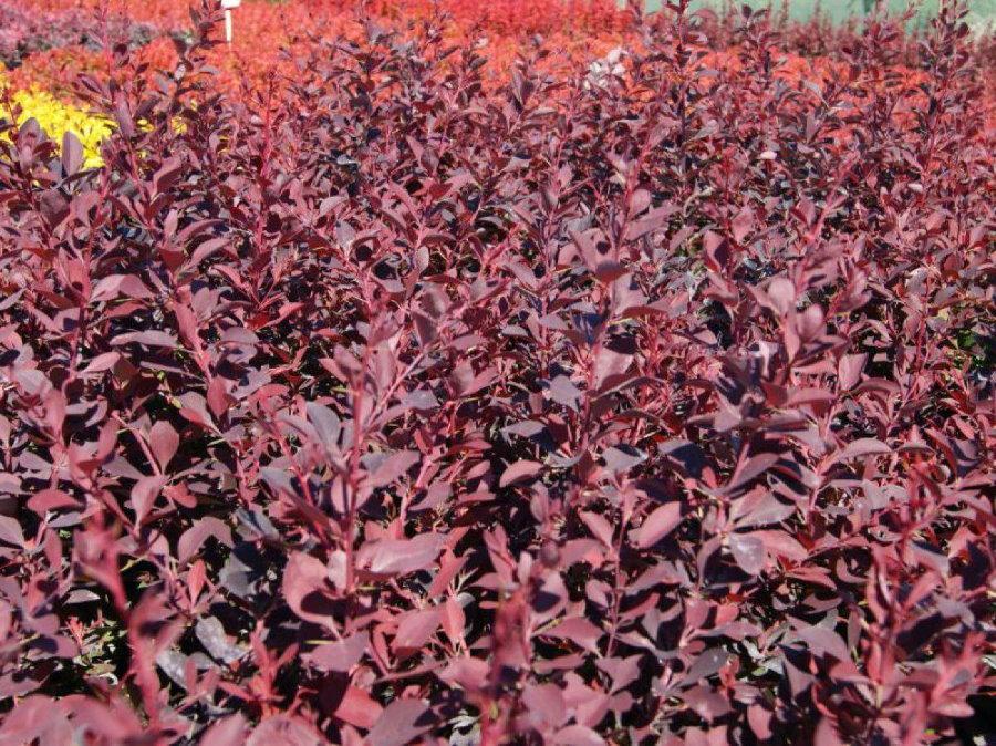 Живая изгородь из барбариса с красно-фиолетовыми листьями