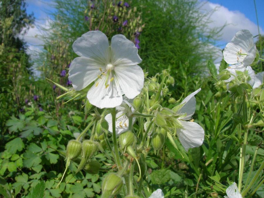 Крупный цветок с белыми лепестками на герани в саду