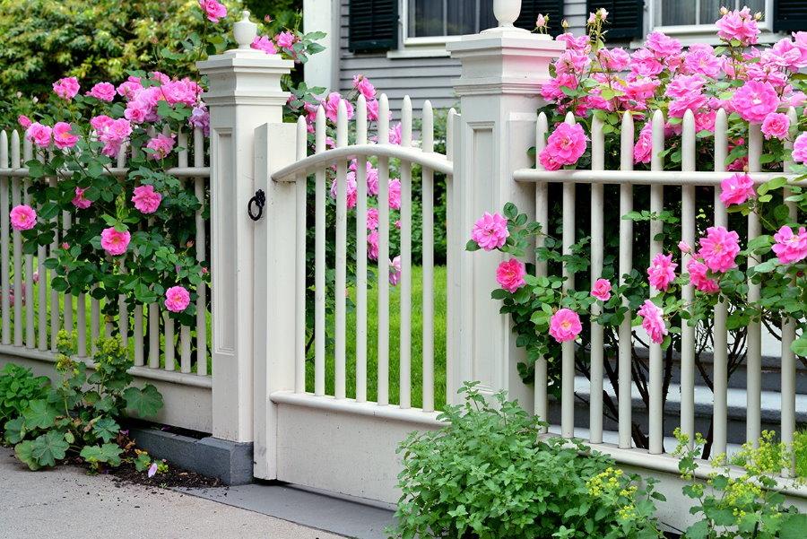 Красивый палисадник с розами за белым забором