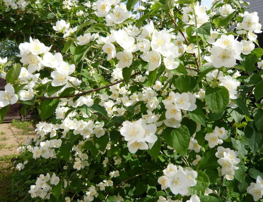 Душистый жасмин в период обильного цветения на даче