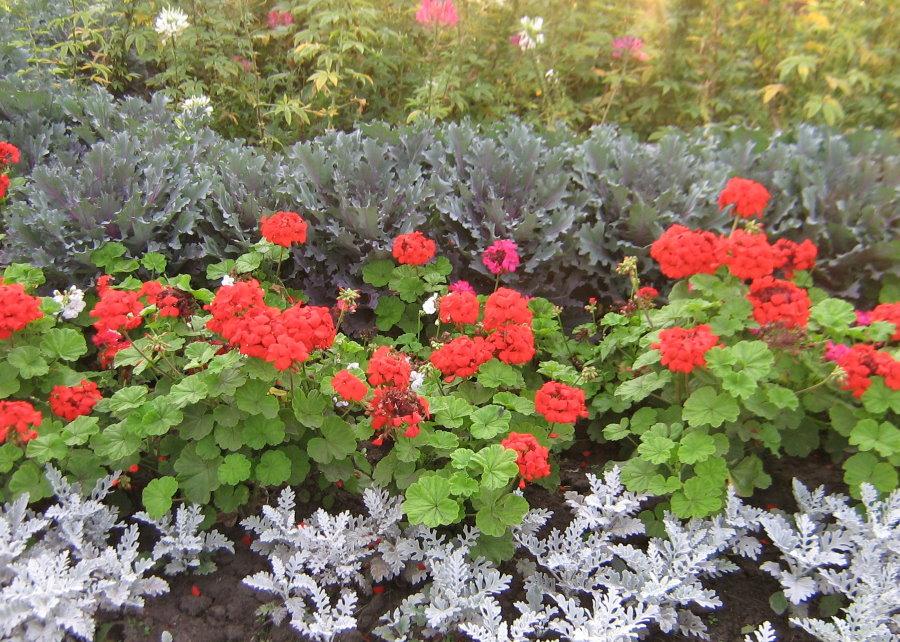 Садовая композиция с геранью и другими цветами