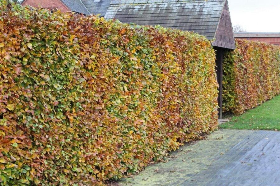 Живая изгородь из бука поздней осенью