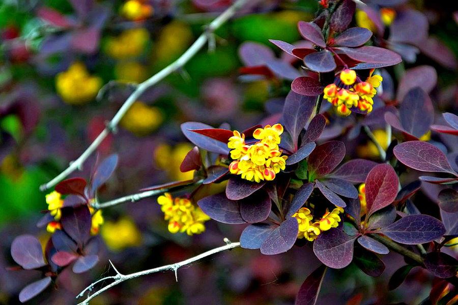 Желтые цветки на ветках гибридного барбариса