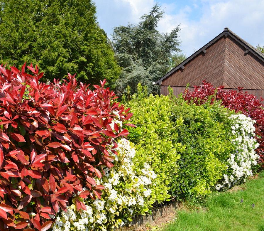 Цветная стенка из многолетних кустарников