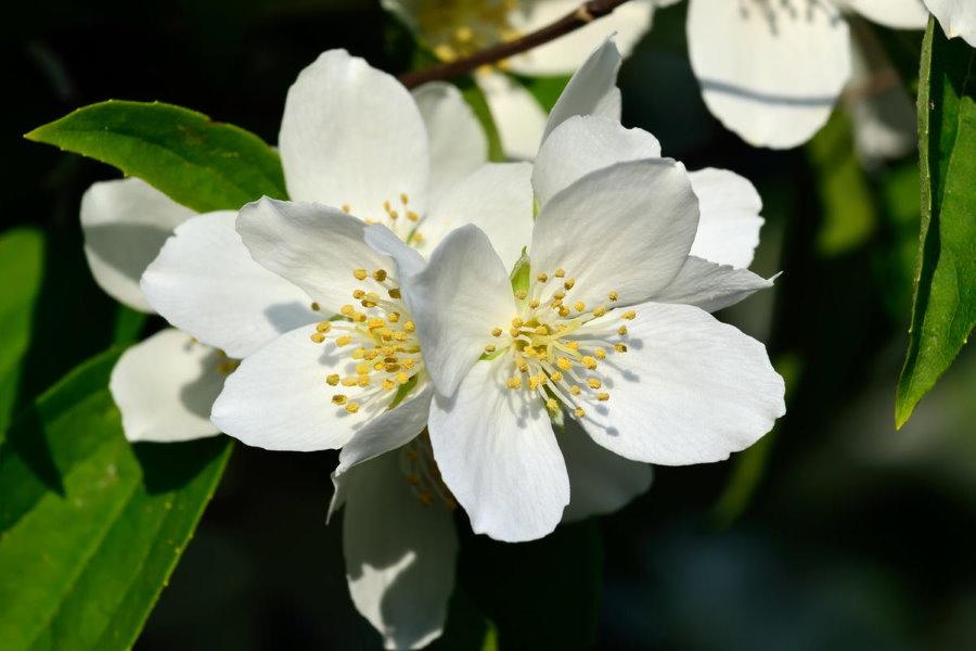 Фото цветка чубушника крупным планом