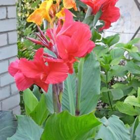 цветок канна в саду дизайн идеи