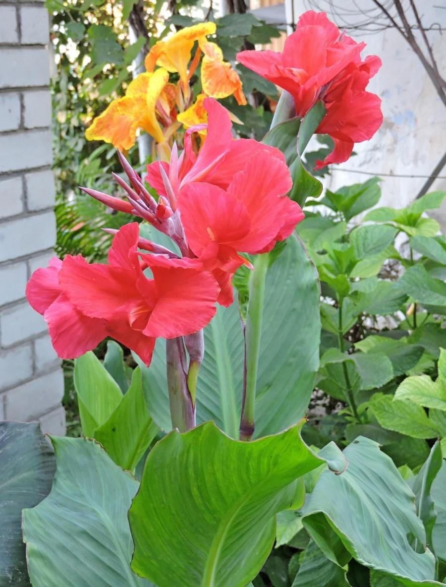 Цветы канны сорта фото берет
