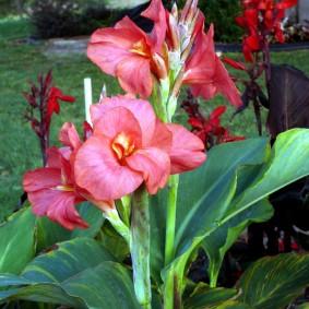 цветок канна в саду идеи дизайн