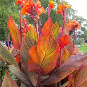 цветок канна в саду декор