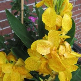 цветок канна в саду декор фото