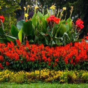 цветок канна в саду фото декора