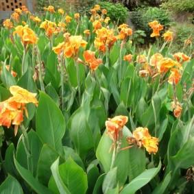 цветок канна в саду декор идеи