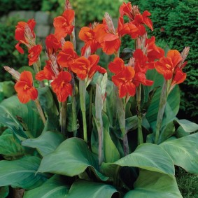 цветок канна в саду идеи декор