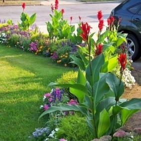 цветок канна в саду идеи декора