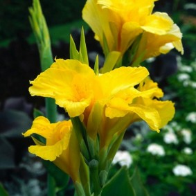 цветок канна в саду виды дизайна