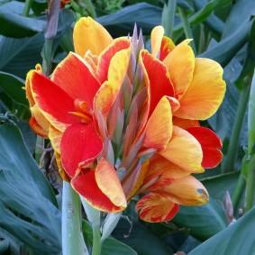цветок канна в саду фото