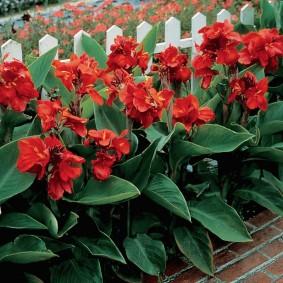 цветок канна в саду оформление