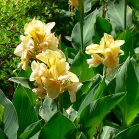 цветок канна в саду оформление фото